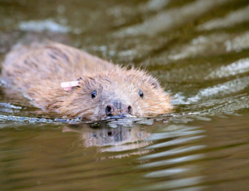 """National Trusts' """"Beavers to be released in plan to ease flooding and aid biodiversity"""" in the news"""